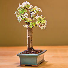 Dwarf Bartlett Pear Bonsai Tree Gift