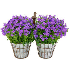 <span style=color:#bb0011>NEW</span> Purple Campanula Plant Gift