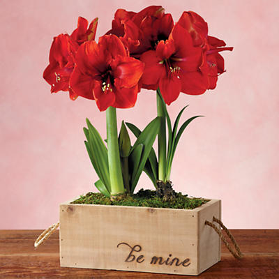 Valentine's Day Red Lion Amaryllis Double