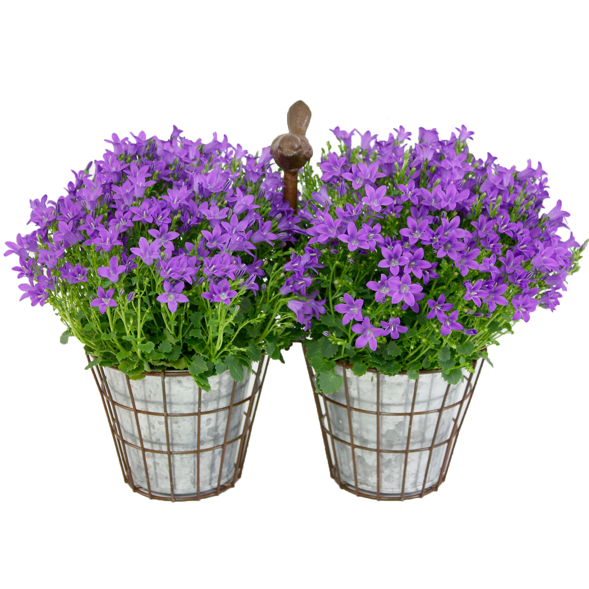 Purple canula plant gift