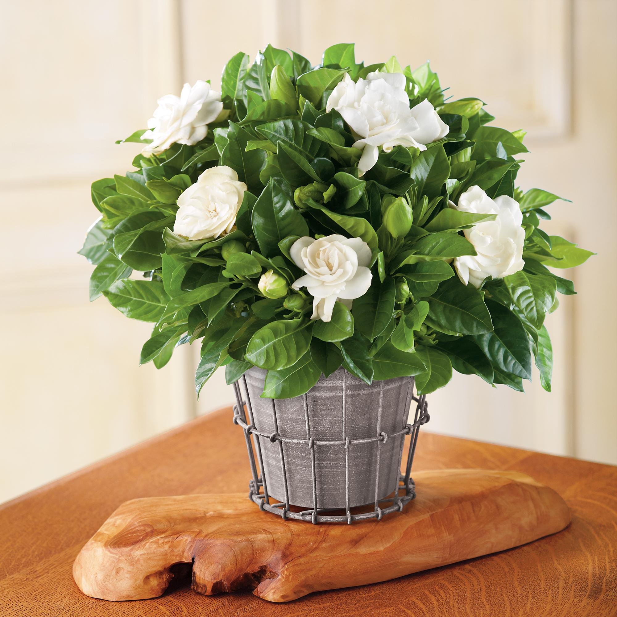 New 4 gardenia plant gift
