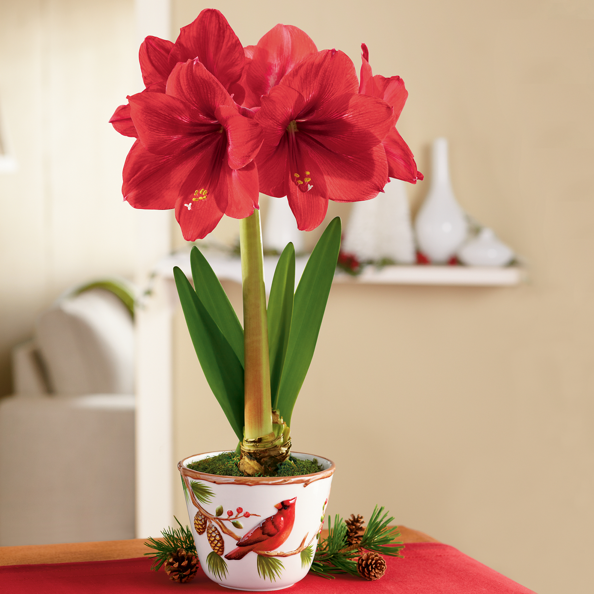Red Lion Amaryllis Plant Gifts Amaryllis Gifts Harry