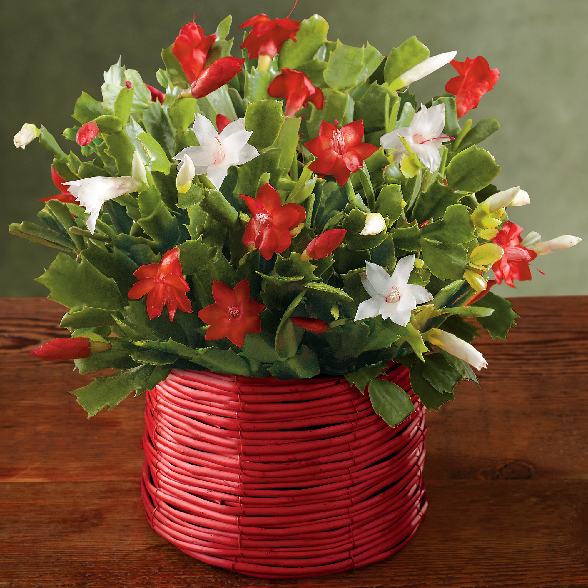 christmas tree cactus garden - photo #39