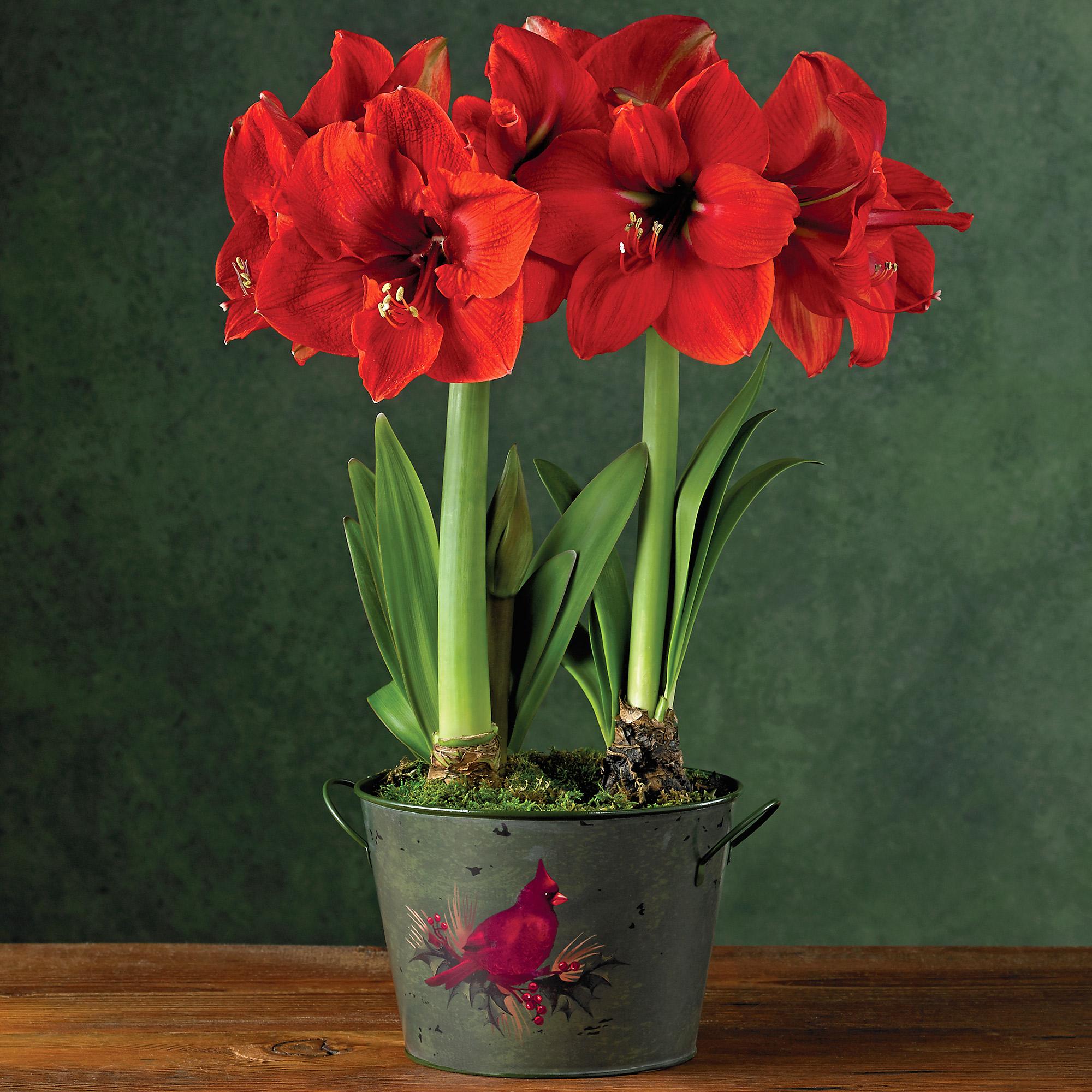Red lion amaryllis plant