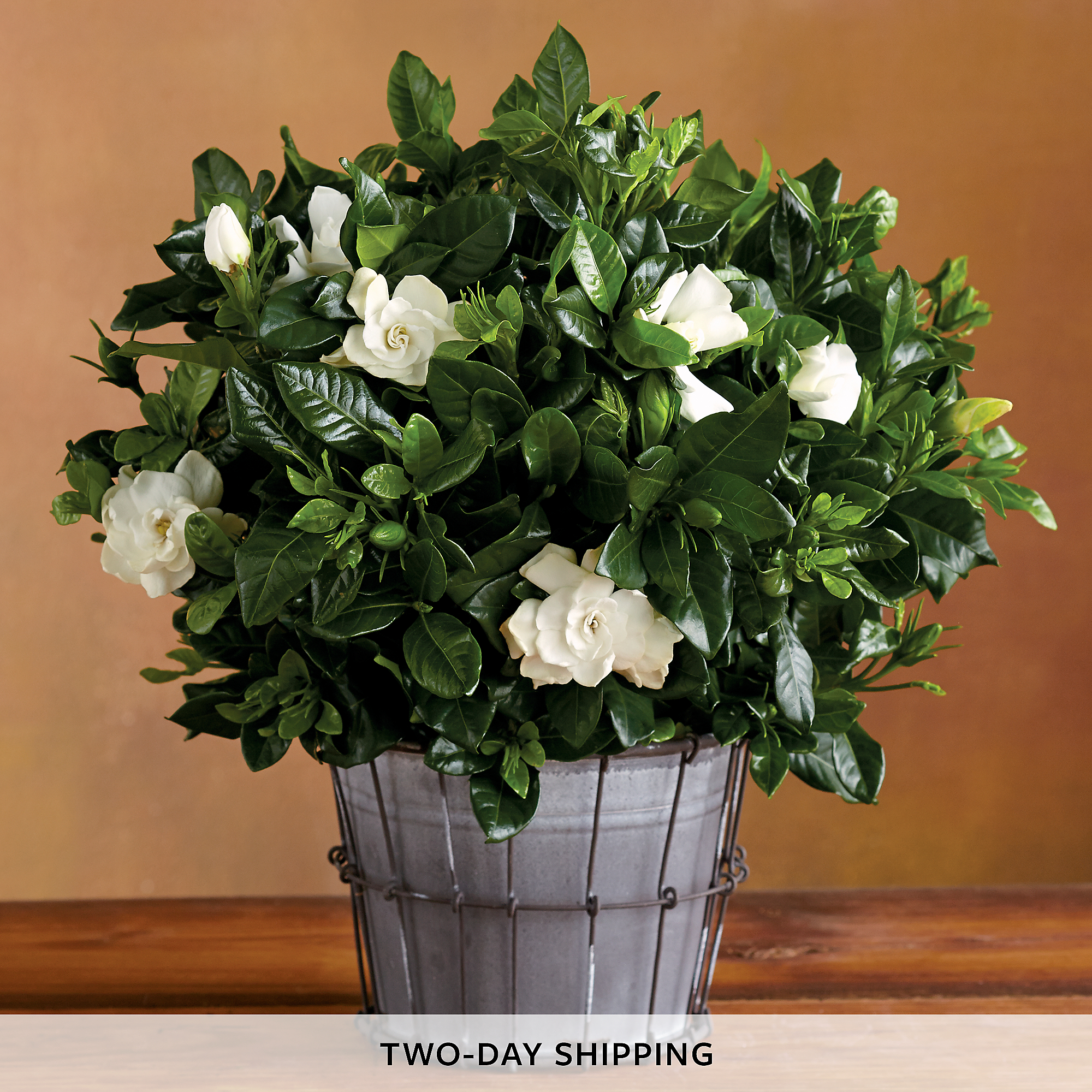 6 Everblooming Gardenia Flower Delivery Harry David