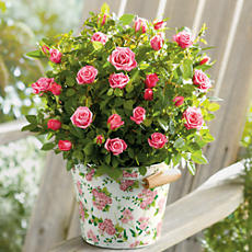 "<span style=color:#bb0011>NEW</span> 6"" Mini Rose Plant Gift"