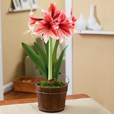 Cherry Crush Amaryllis Plant Gift