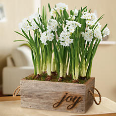 Holiday Paperwhites Plant Gift