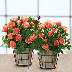 NEW Coral Mini Rose Gift