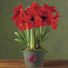 Red Lion Amaryllis Triple