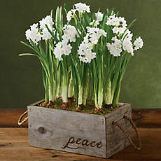 Holiday Paperwhites in Reclaimed Wood Box