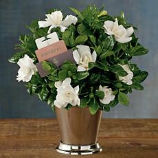Birthday Gardenia Plant Gift