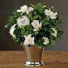Thank You Gardenia Plant Gift