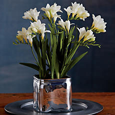 White Freesia Plant
