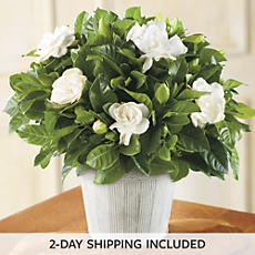 "6"" Gardenia in Country Tin"