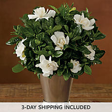 "4"" Everblooming Gardenia"