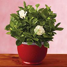"6"" Everblooming Gardenia"