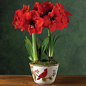 Red Lion Amaryllis Double
