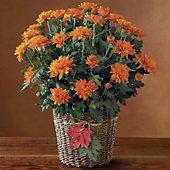 Harvest Chrysanthemum