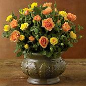 Harvest Mini Rose Plant