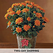 Harvest Chrysanthemum