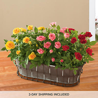 Mother's Day Mini Rose Plant Gift