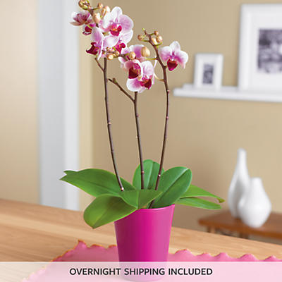 """3"""" Orchid Plant Gift"""