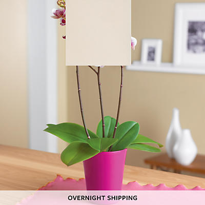 "3"" Orchid Plant Gift"
