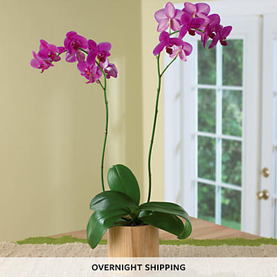 "5"" Orchid Plant Gift"