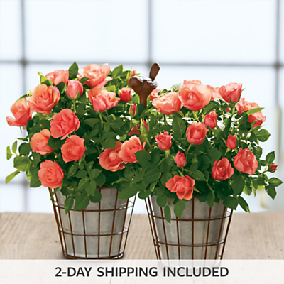 Coral Mini Rose Gift